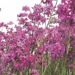 Lychnis viscaria Catchfly Pink