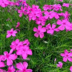 Phlox subulata Mac Daniel' s Cushion