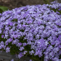 Phlox subulata Goldi Blue