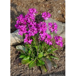 Arabis blepharophylla Rose Delight