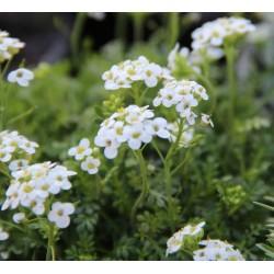Hutchtinsia alpina