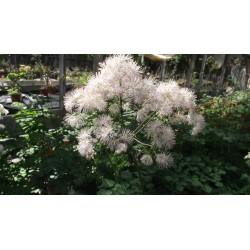 Thalictrum aquilegiifolium White